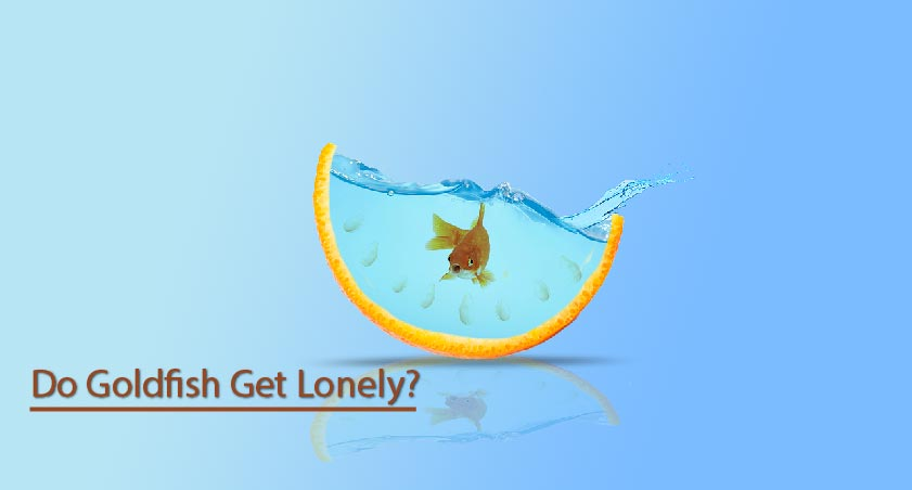 Do goldfish get lonely