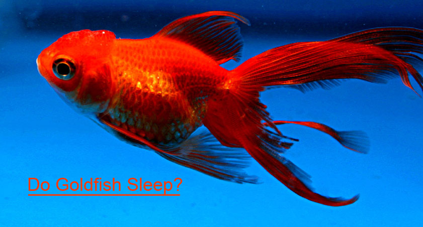 Do goldfish sleep aren 39 t they getting tired scientific for How do fishes sleep