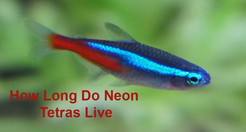 How Long Do Neon Tetras Live
